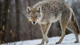 What You Need to Know About Coyotes