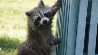 Raccoon triggers transformer explosion, major power outage