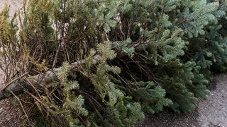 Woman gets full refund after returning dead Christmas tree to Costco in January