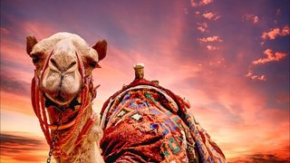 12 camels booted from beauty contest at Middle East festival over Botox use