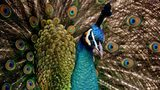 "A woman tried to bring a peacock, similar to the bird pictured here, on a flight out of Newark. United Airlines told her ""no"" three times, but she showed up at the airport with the bird anyway."