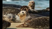 FILE PHOTO: Harbor seals watch for danger at Children's Pool Beach in La Jolla, California. A seal was recently spotted as far south as Florida.