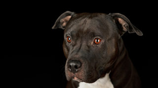 Pit bull credited with saving woman