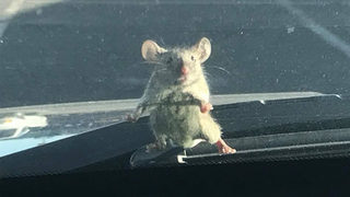 Mouse waits for ride on sheriff deputy