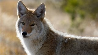 Coyote hunter using caller mistaken for coyote, shot and killed