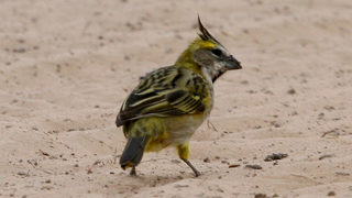 Rare yellow cardinal a 'one in a million