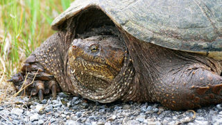 Threats made at Idaho school where puppy was fed to snapping turtle