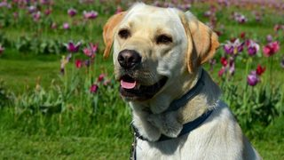 Labrador retriever most pup-ular US dog breed for 28th year