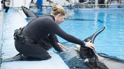 Katina, a killer whale at SeaWorld in Orlando, injured a dorsal fin interacting with other whales, officials said. (Photo: SeaWorld)