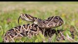 WHAT: Eastern diamondback rattlesnakes - An urban legend claims that a 15-foot Eastern Diamondback was found in Florida. Though later proven to be false, this deadly snake can grow to 8 feet in length.