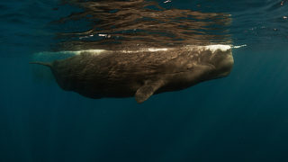 Scientists: 64lbs of Plastic Found Inside Dead Sperm Whale Led to its Death