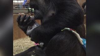 Smithsonian National Zoo celebrates baby gorilla