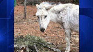 Donkey basketball fundraiser criticized as cruel