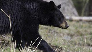 Bear kills dog, seriously injures another in Florida subdivision
