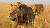What You Need To Know: Lions