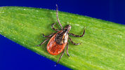 In this undated file photo provided by the U.S. Centers for Disease Control and Prevention (CDC), a blacklegged tick - also known as a deer tick, rests on a plant. (CDC via AP, File)
