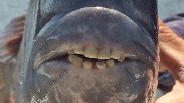 Weird Fish With Human Teeth 10
