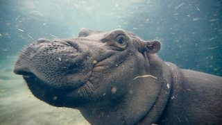 WATCH: Fiona the hippo gives mom hugs and kisses at zoo