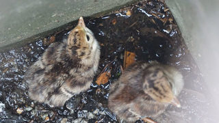 Turkey chicks rescued from Pittsburgh sewer