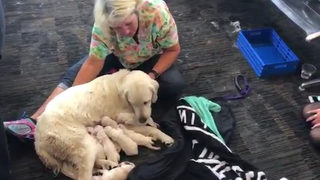 Service dog gives birth to litter of puppies at Florida airport