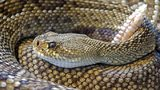 File photo of a rattlesnake. A Texas man is recovering after he was bitten by a severed rattlesnake head.