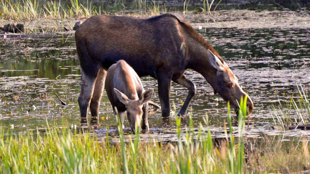 Strange animal friends: Baby moose, dog break internet hearts