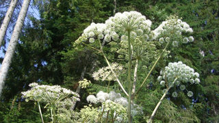 Dangerous plant that causes blindness, 3rd degree burns found in multiple states, officials say