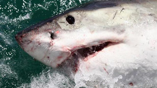 Dead great white shark washes ashore on California beach