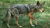 The Coyote Challenge, sponsored by Georgia's state Department of Natural Resources, encourages the killing of coyotes between March and August.