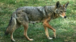Coyote killing contest under fire by animal rights agencies