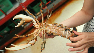 A 1-in-30 million shot: Rare yellow lobster caught off Maine coast