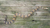 7-foot-long boa constrictor found after escaping when NC owner forgets to lock cage