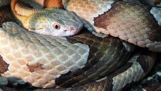 Copperhead snake bites Oklahoma toddler
