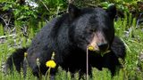 A black bear, similar to the one that stole a Georgia nurse's lunch from her minivan, is pictured here. Photo: Pixabay