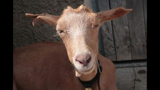 Men who blew marijuana smoke in goat