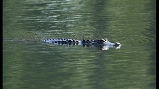 MUST SEE VIDEO: Alligator eats shark off Hilton Head coast