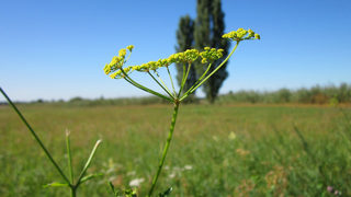 Woman warns of wild parsnip burns after she is sent to hospital with painful, large blisters