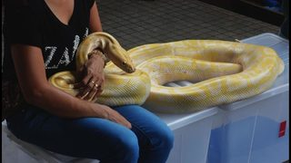 Snake massage great way to relax, if you can stand the creepy crawlers slithering all over you