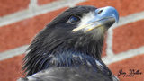 Baby bald eagle dies less than week after first flight