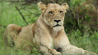 Lioness sees Simba toy, paws at glass to get stuffed animal