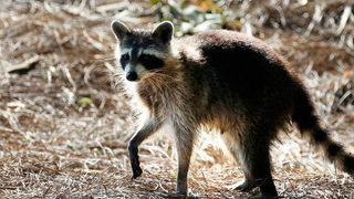 At least 26 raccoons dead from 'zombie-like