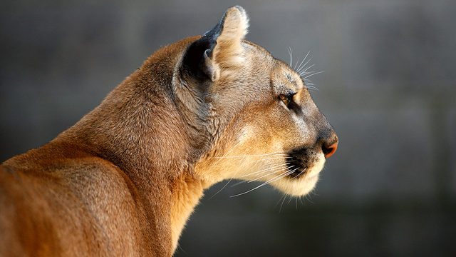 Oregon Woman Discovers Mountain Lion Napping On Her Couch