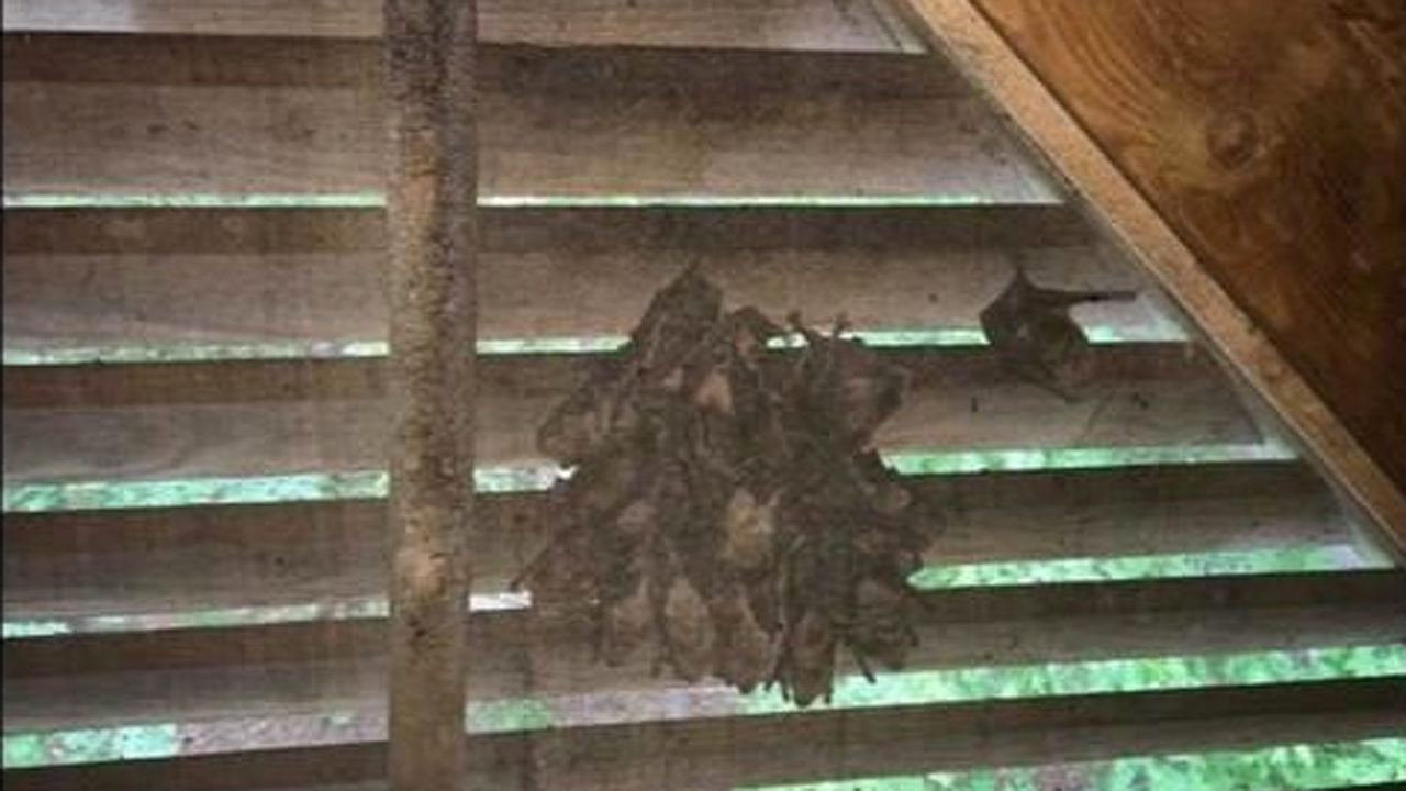 Homeowners Not Allowed To Remove Roosting Bat Colonies In Attics Here S Why Wsb Tv