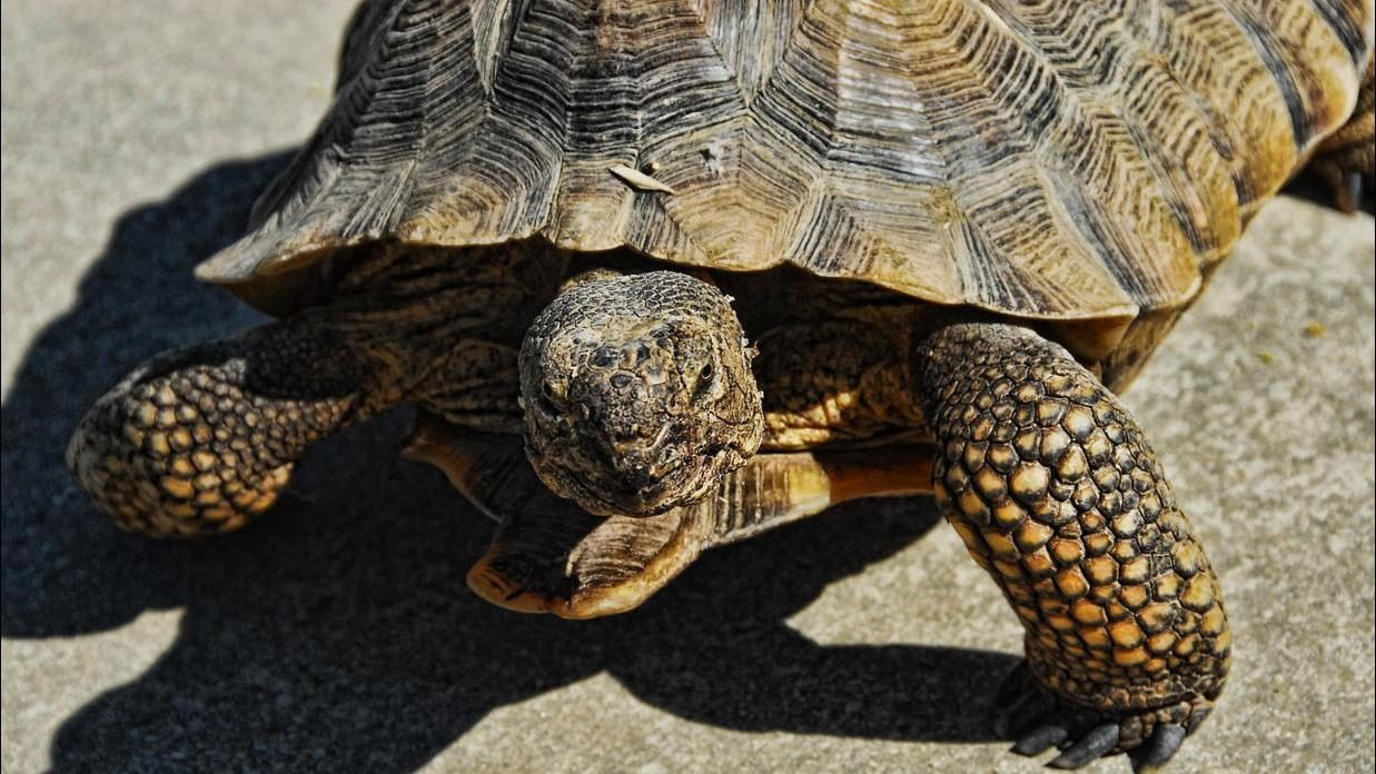Police: Nevada man accused of puncturing tortoise's shell