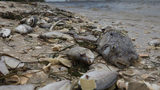 Dead Fish, Turtles and Manatees Washing Up on Florida Beaches in Red Tide Explosion