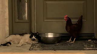 Cat, Chicken Huddled Together on Porch Rescued by Firefighters
