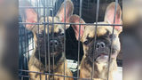 23 French Bulldog Puppies Rescued From Van Without Air Conditioning