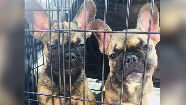 23 French bulldog puppies looking for new homes, how you can