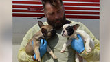 Dozens of French bulldogs are being treated after they were found stuffed in a hot moving van.