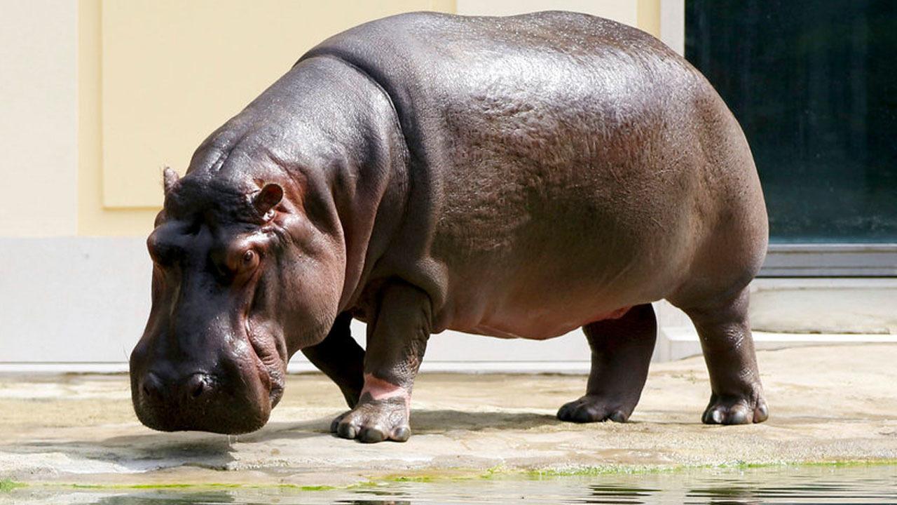 Man Climbs Over Zoo Railing Slaps Hippo On Rear End Police Say